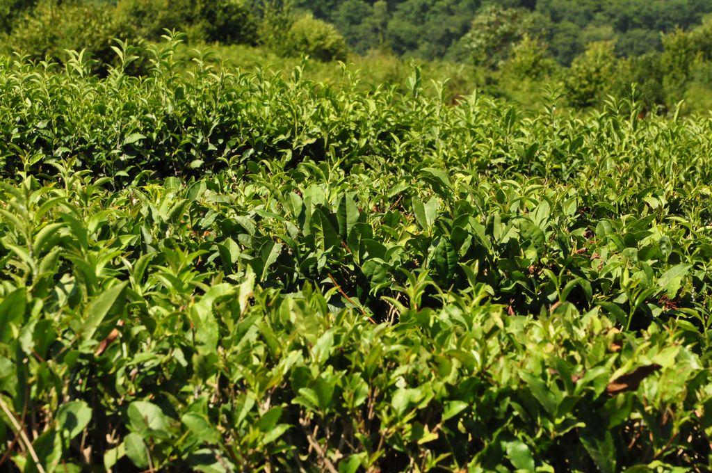 Чайная плантация. Экскурсия 33 водопада